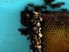 apiculture08