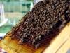apiculture12