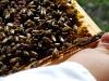 apiculture20