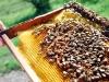 apiculture25