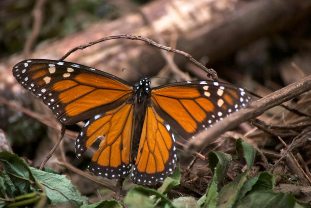 monarchs10