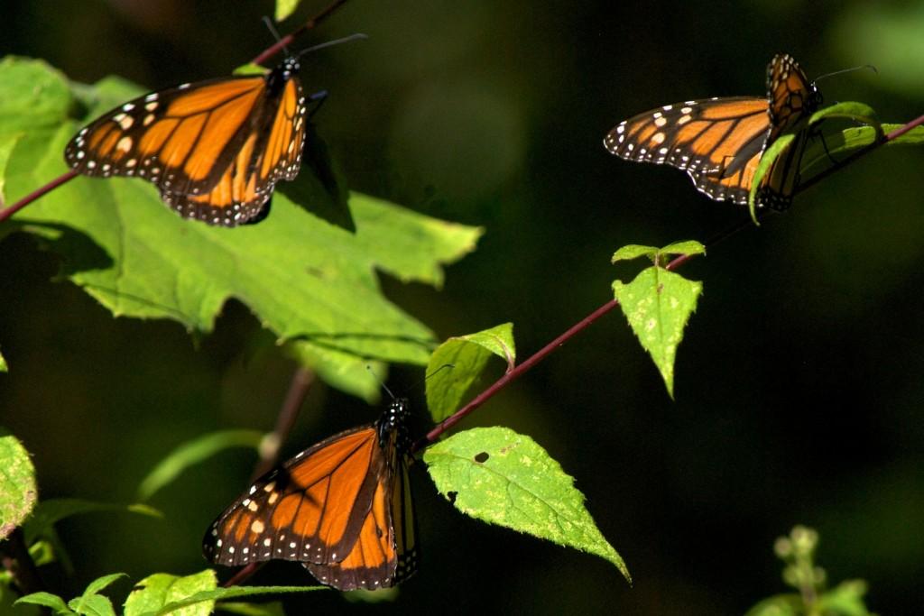 monarchs24