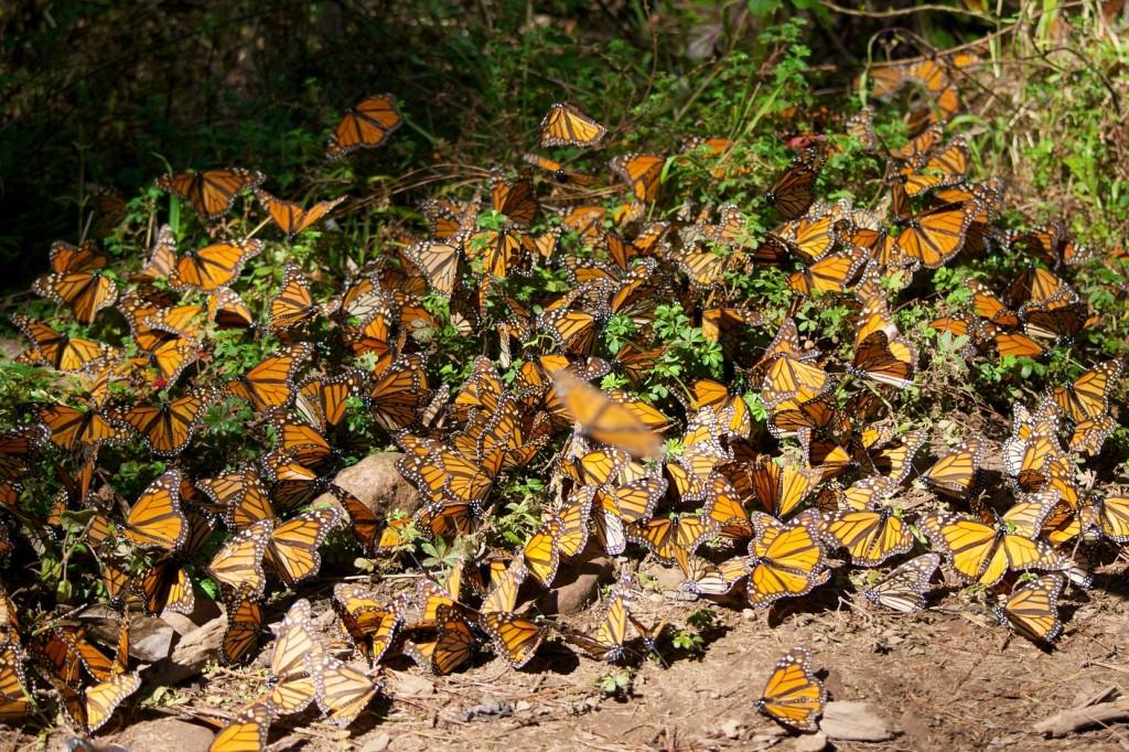 monarchs26