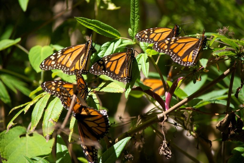 monarchs31