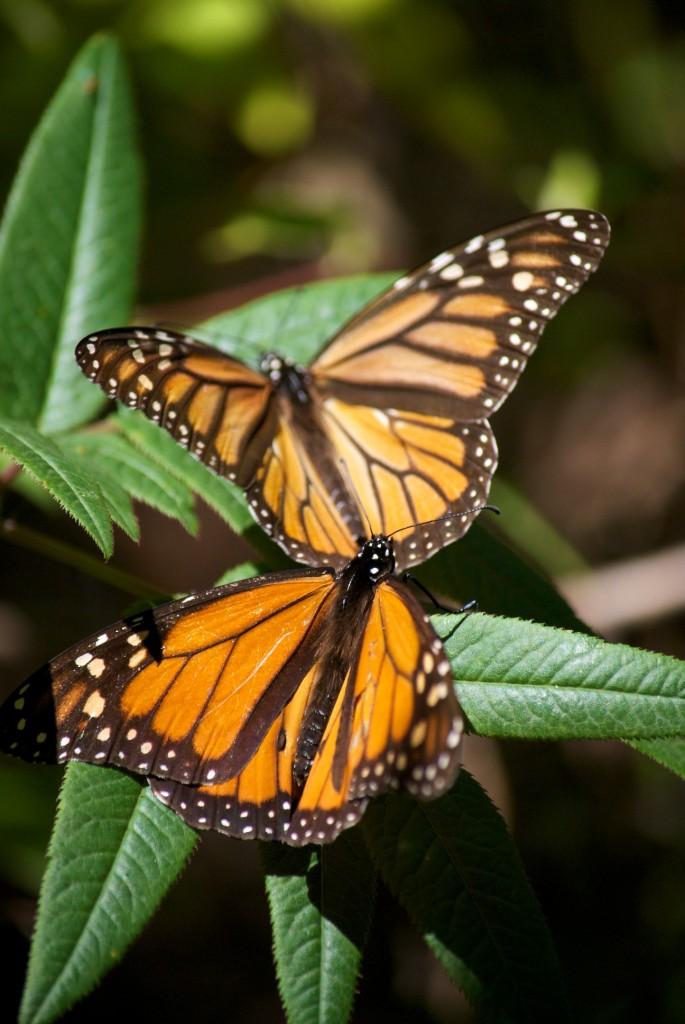 monarchs32