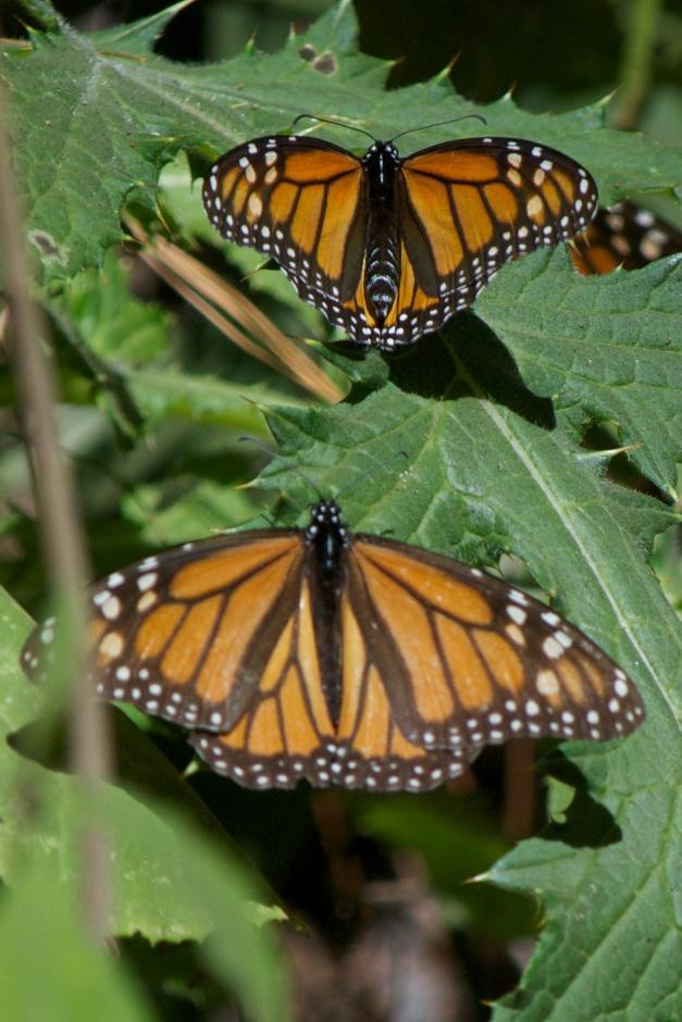 monarchs37