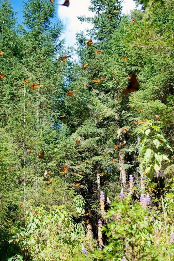monarchs41