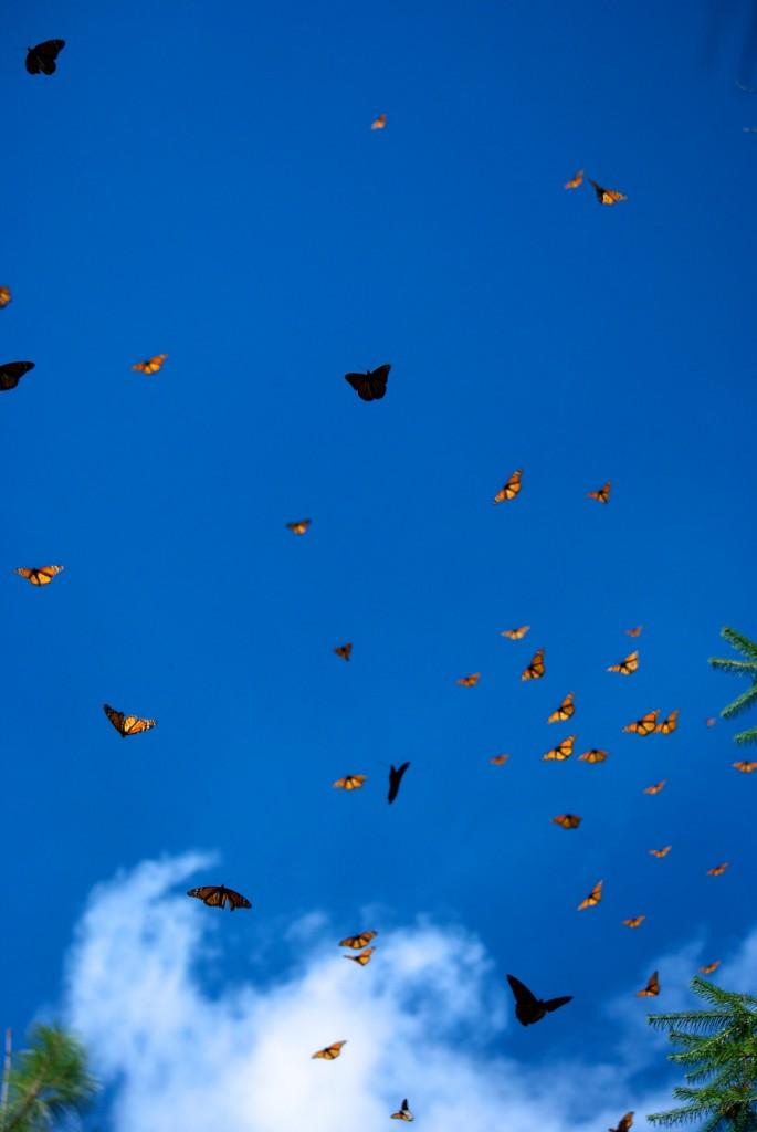monarchs43
