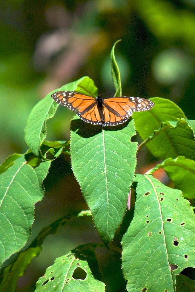 monarchs46