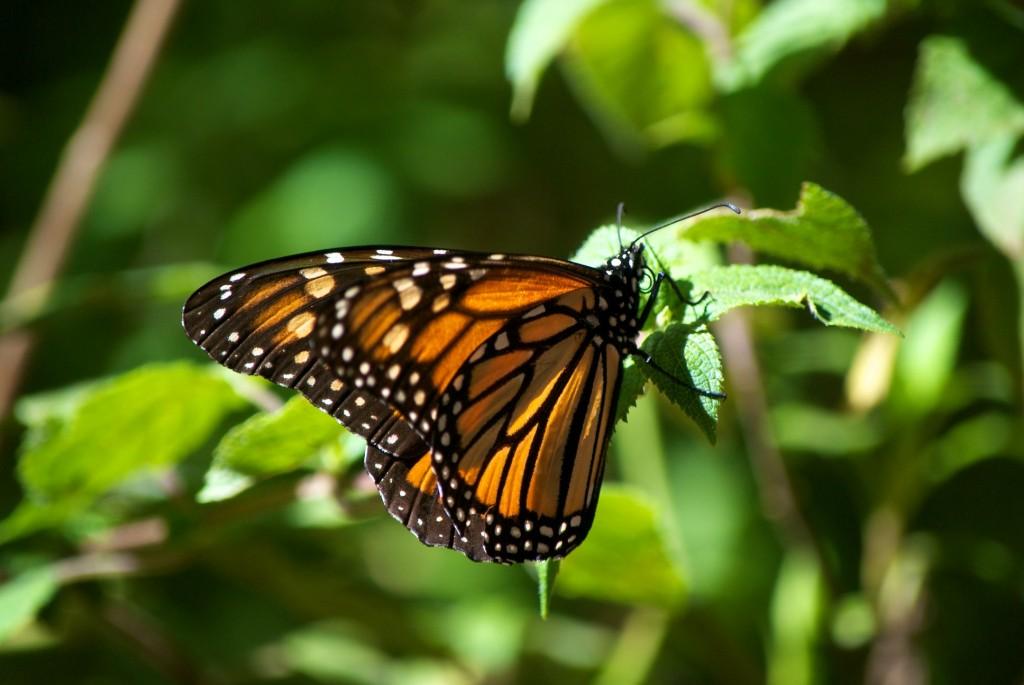 monarchs48