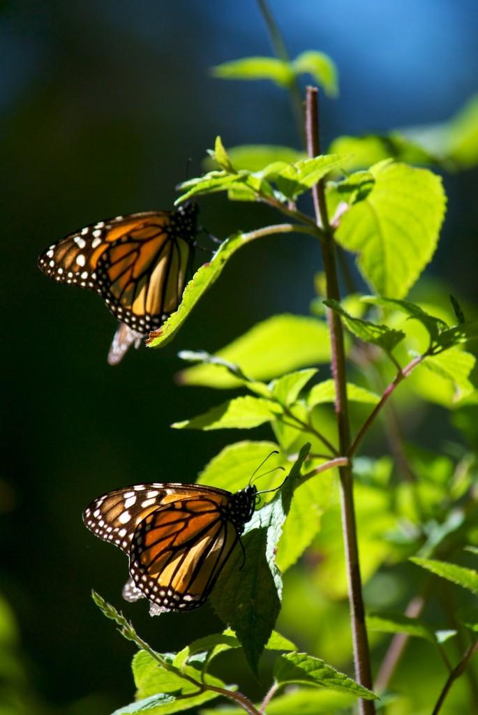 monarchs49