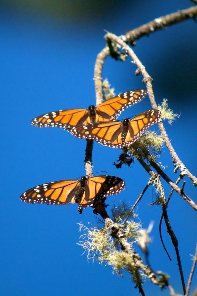 monarchs52