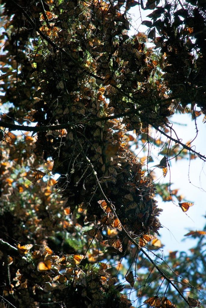 monarchs58
