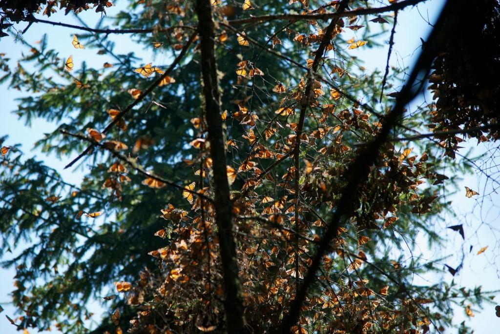 monarchs59