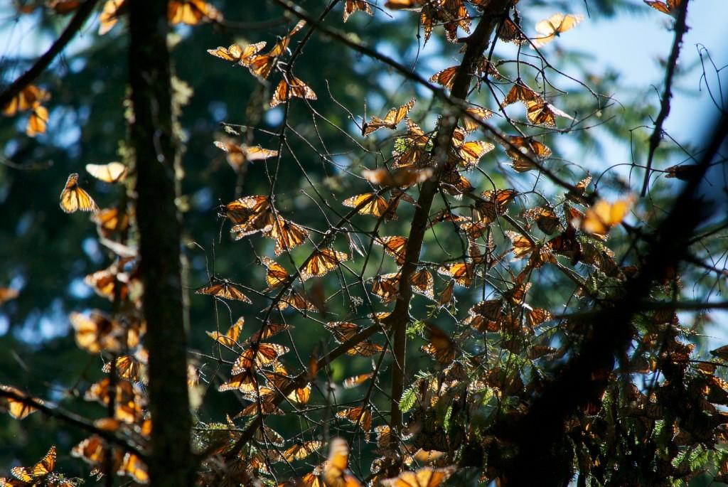 monarchs60