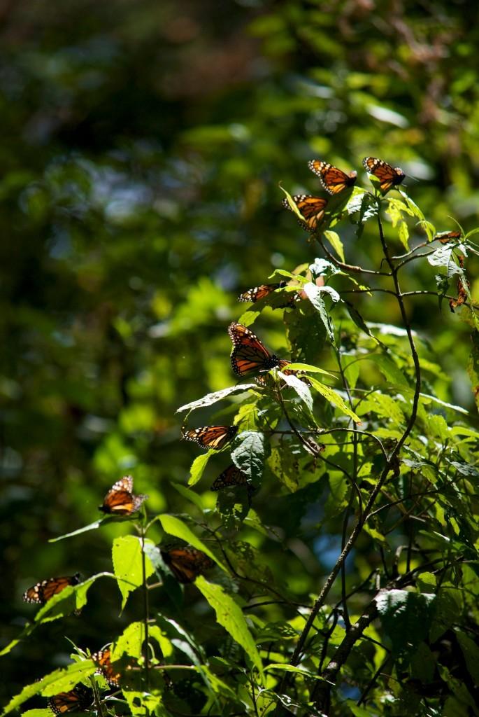monarchs61