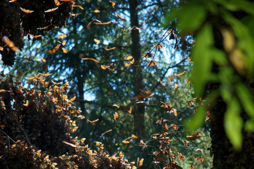 monarchs72