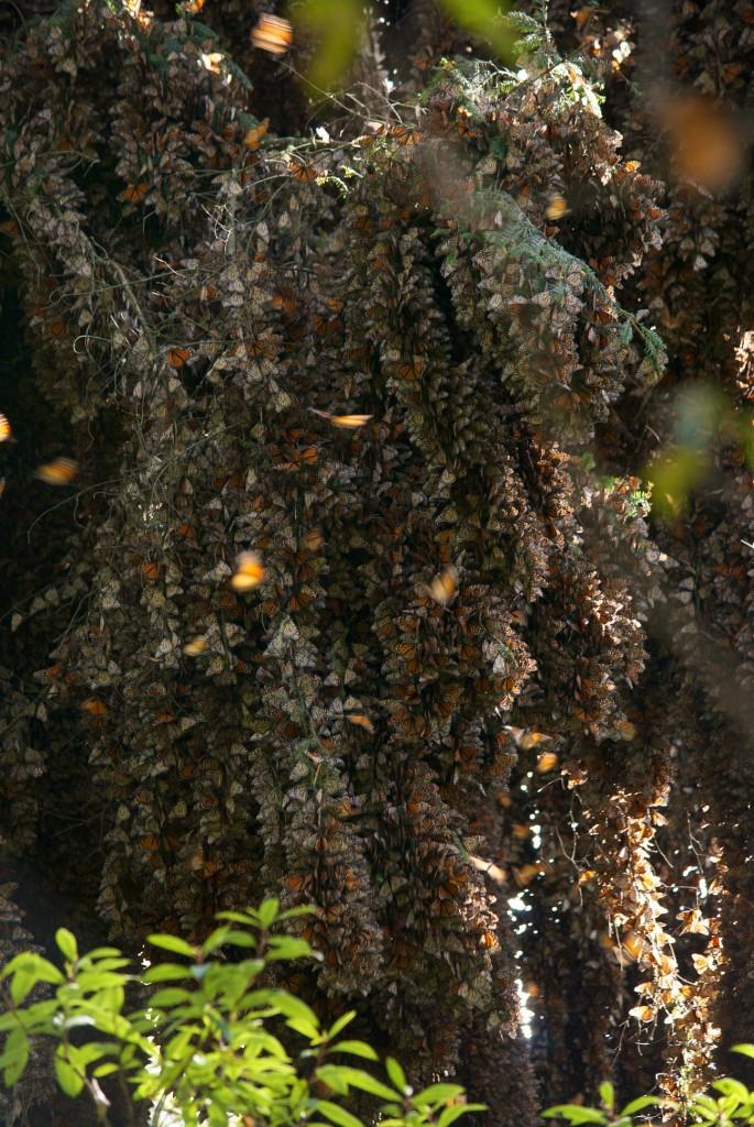 monarchs73