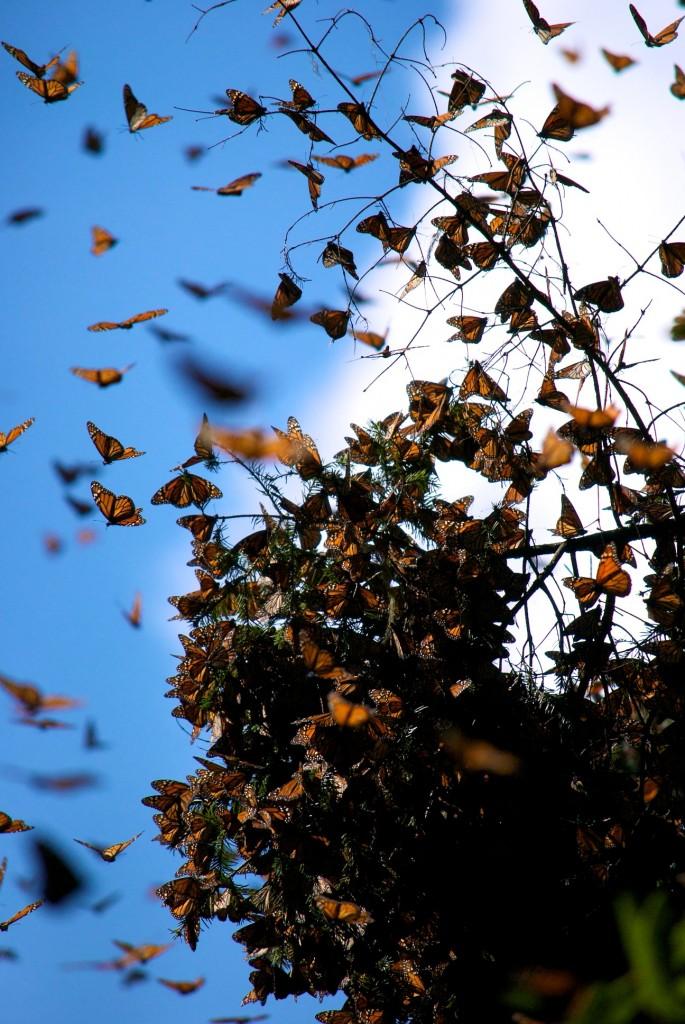 monarchs80