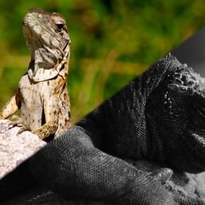 Iguana War 2012, Round 1