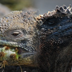 Iguana War 2012, Round 4 — the Finals!