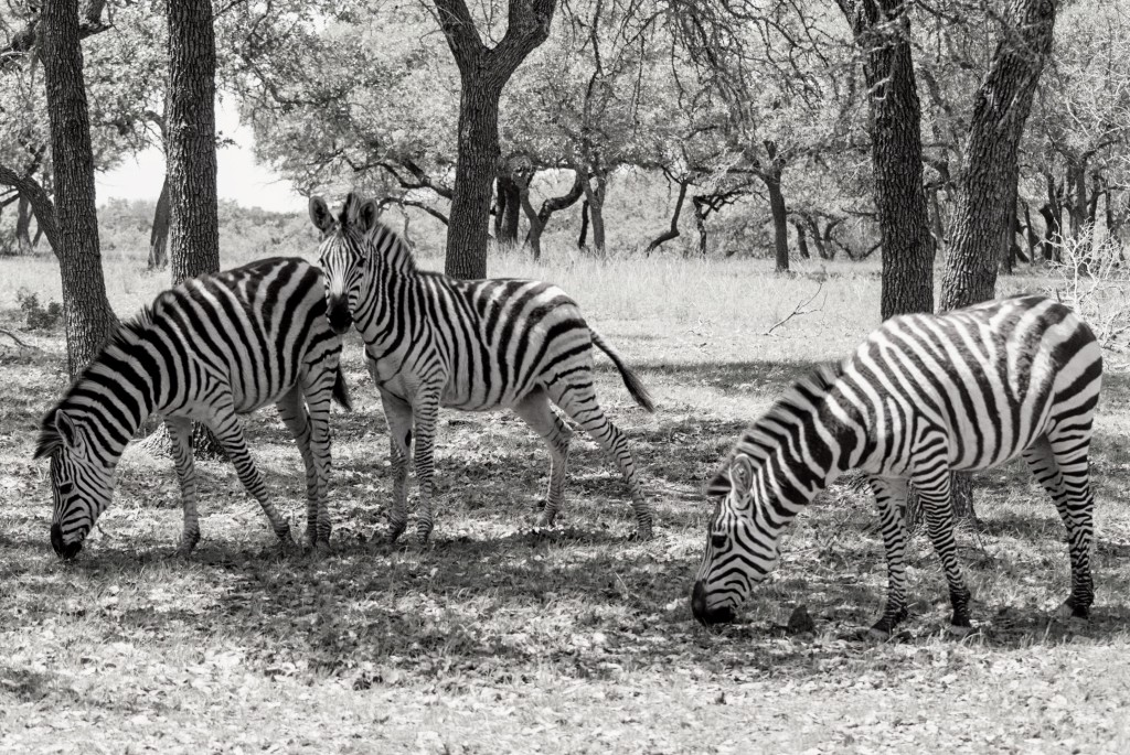 zebras-in-texas-2