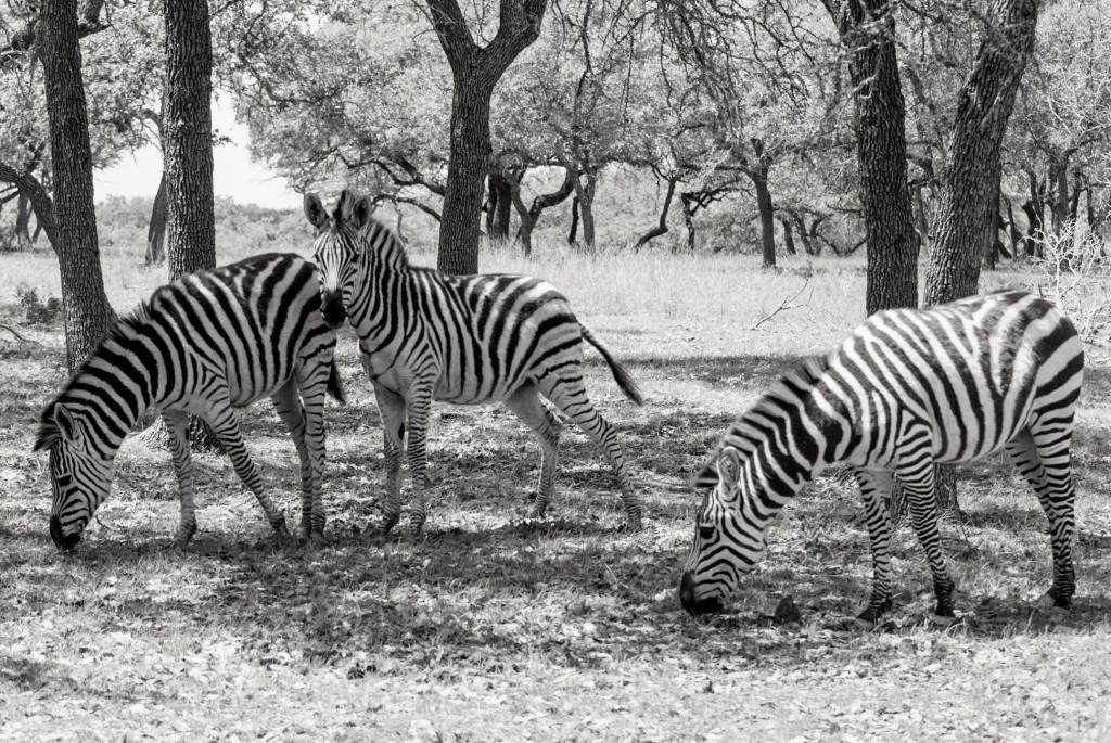 zebras-in-texas-2