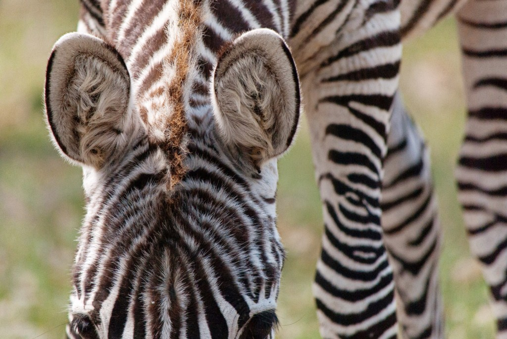 zebras-in-texas-3