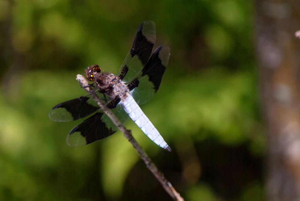 MI_dragonfly-1