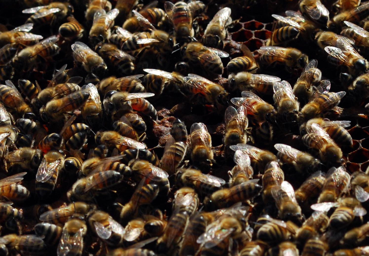 apiculture26