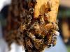 apiculture07