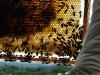 apiculture19