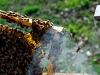 apiculture22