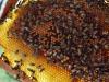 apiculture24