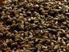 apiculture_thumb