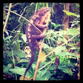 Awesome Chameleon