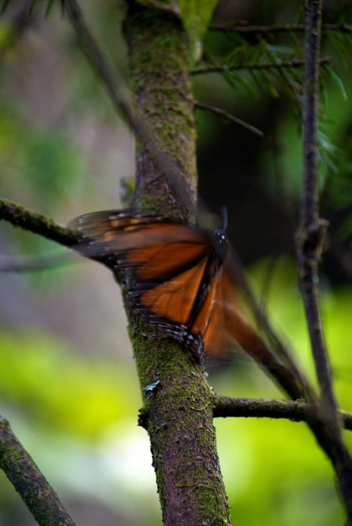 monarchs11