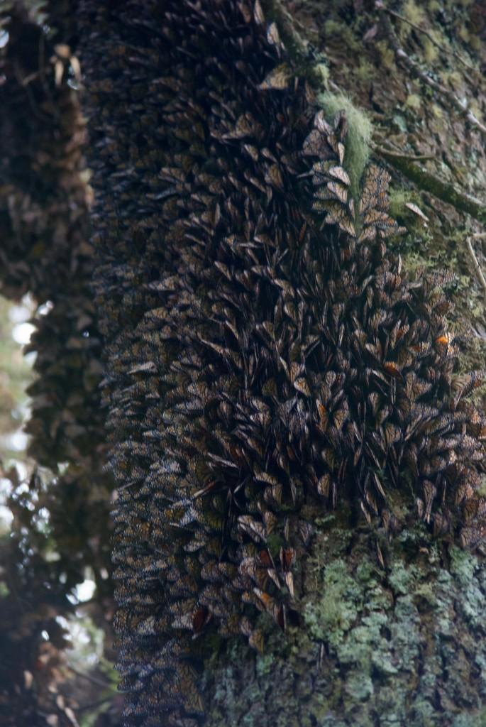 monarchs14