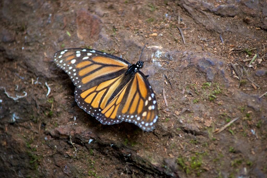 monarchs15