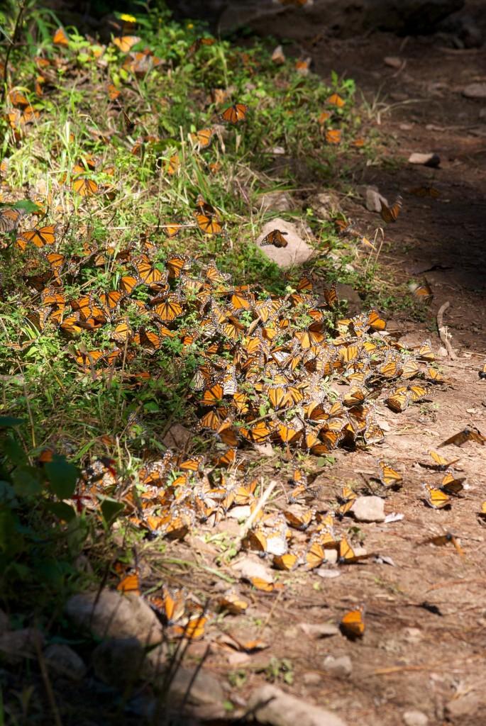 monarchs25