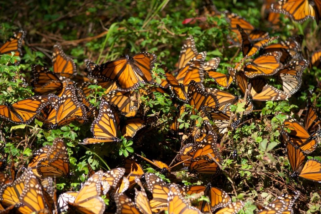 monarchs27