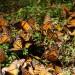 monarchs27 thumbnail