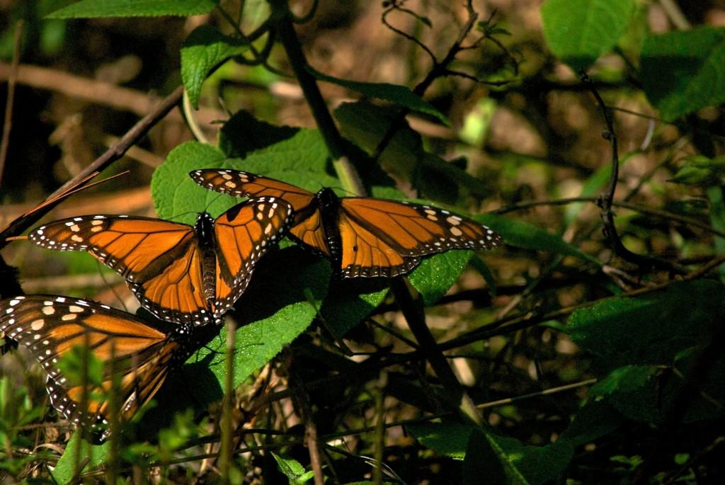 monarchs28