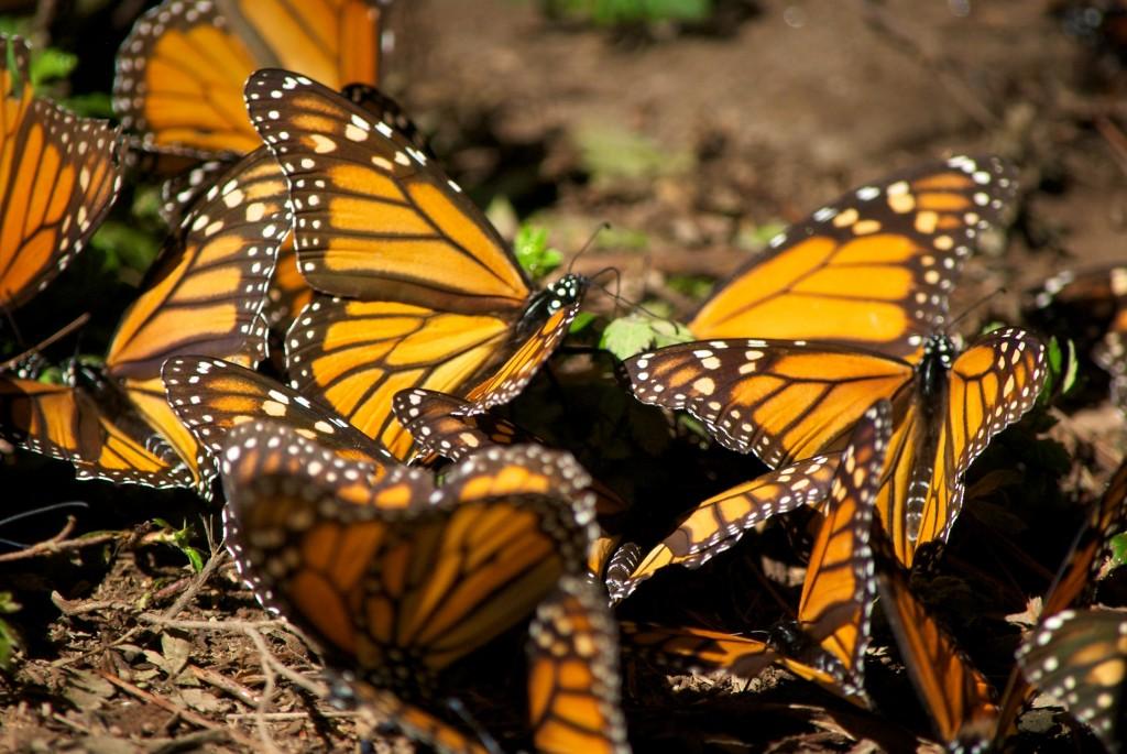 monarchs29