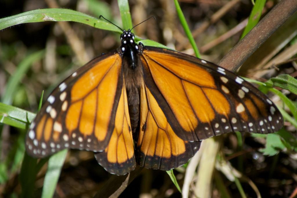 monarchs33