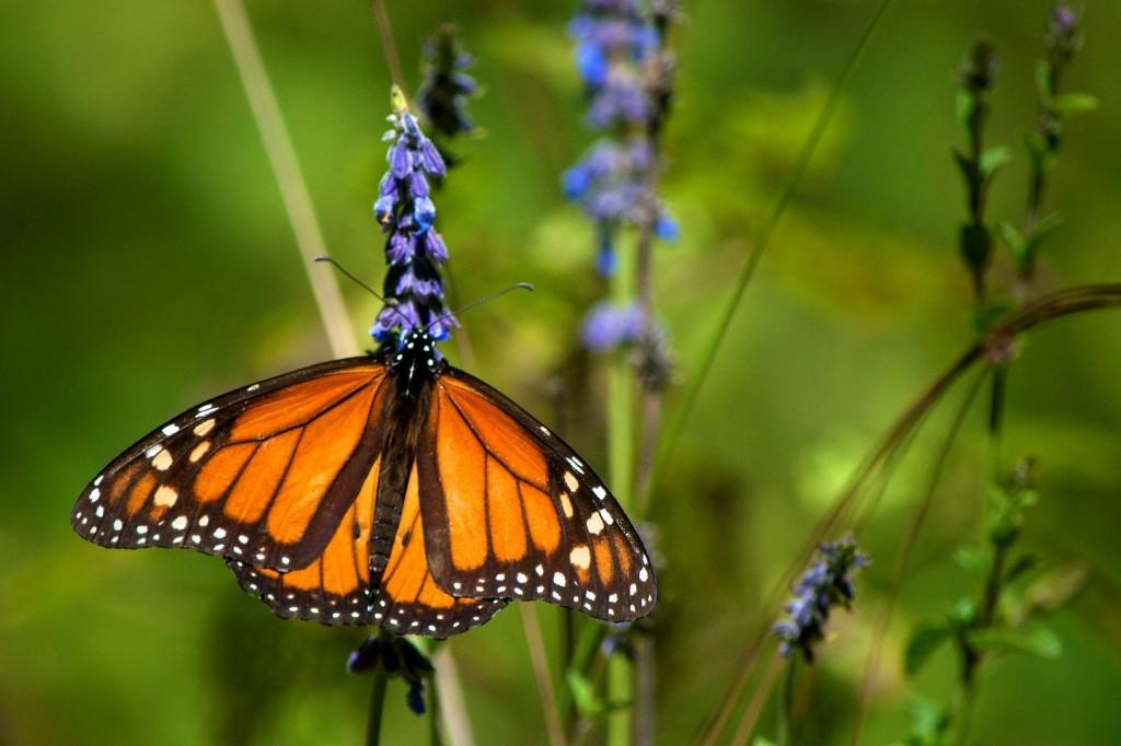monarchs34