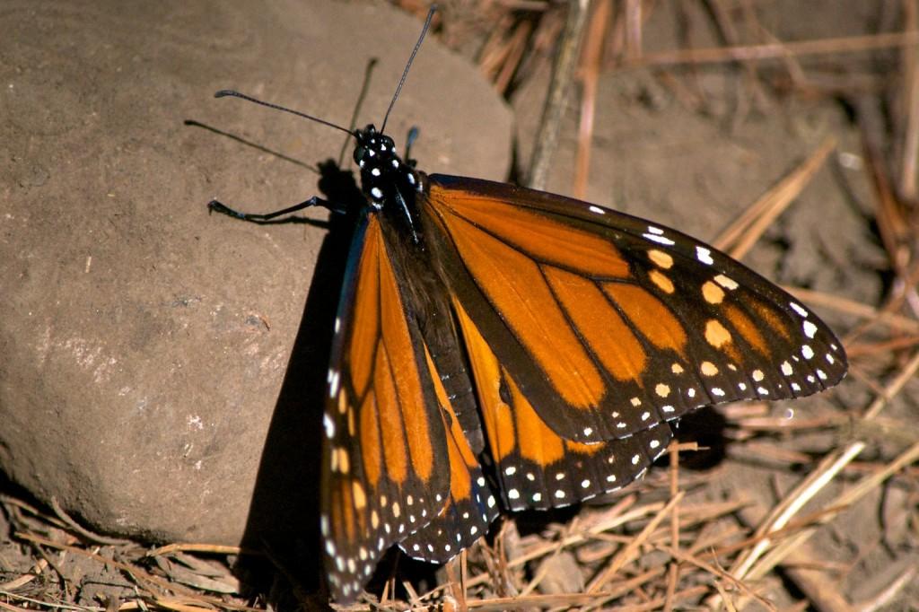 monarchs35