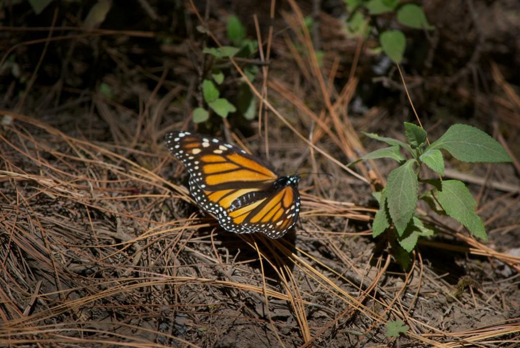 monarchs36