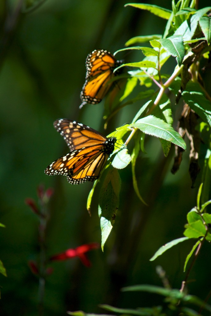monarchs40