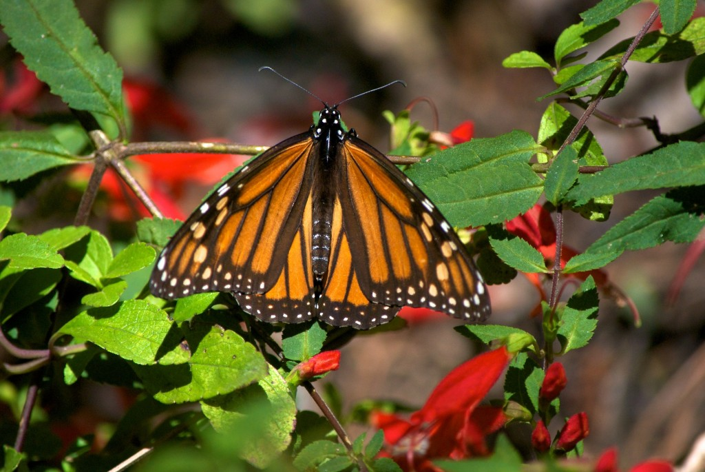 monarchs45